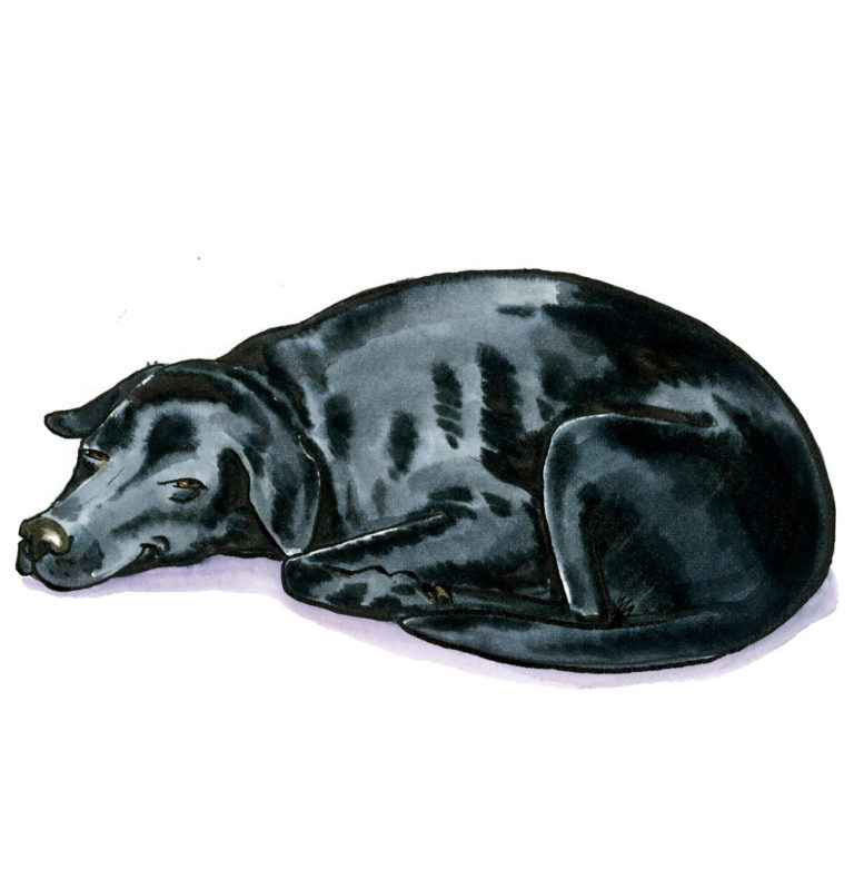 OA-Black-Lab-snoozing
