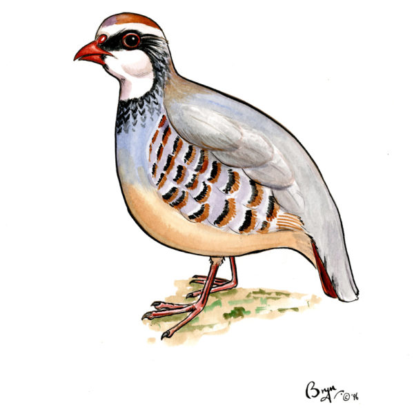 OA-UF,-French-Partridge