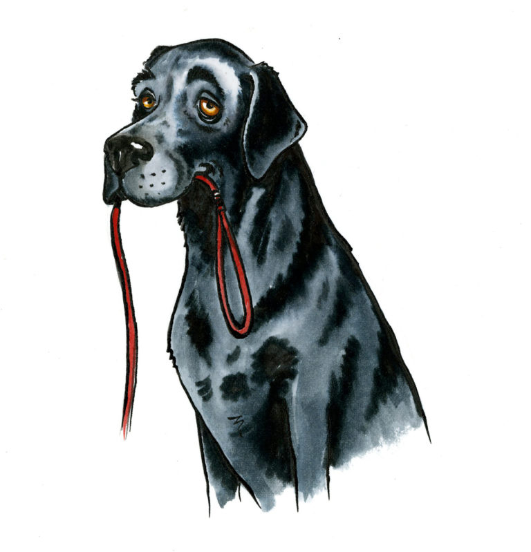 OA,-black-lab-with-lead