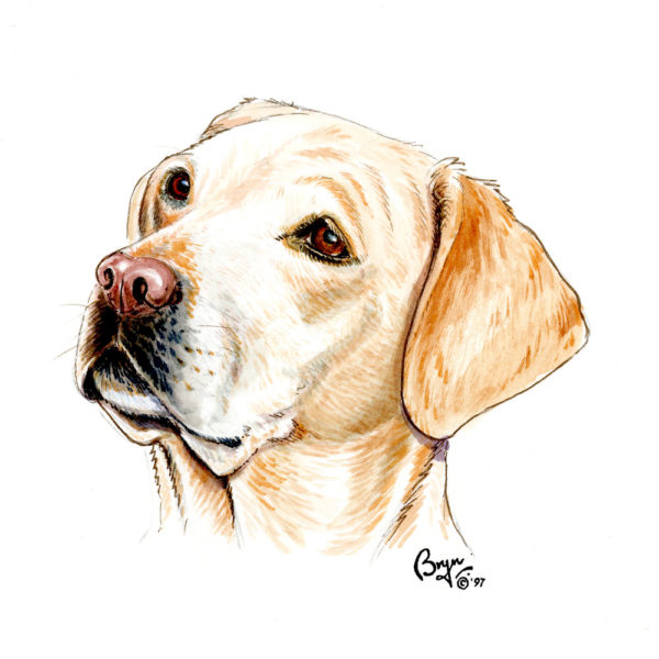 OA.-Yellow-Labrador-head