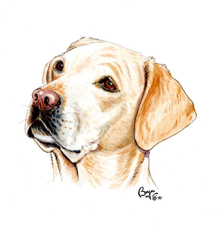OA.-Yellow-Labrador-head