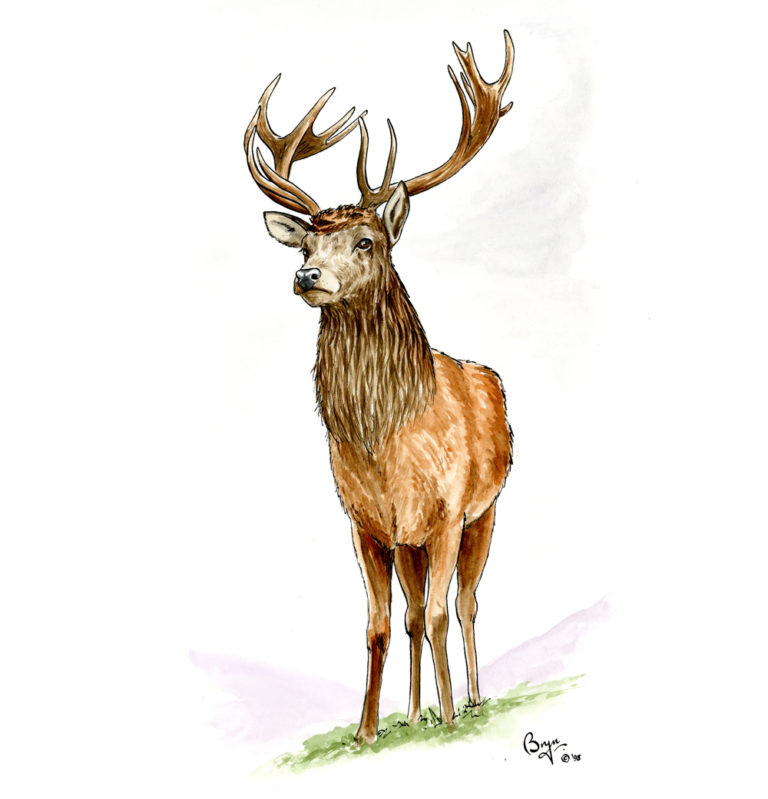 OA_Animals.-Red-Deer-Stag