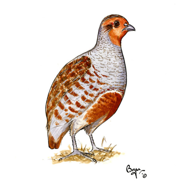 OA_Birds-English-Partridge-Study
