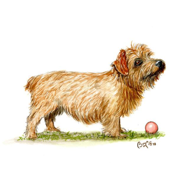 OA_Dogs-Norfolk-Terrier-study