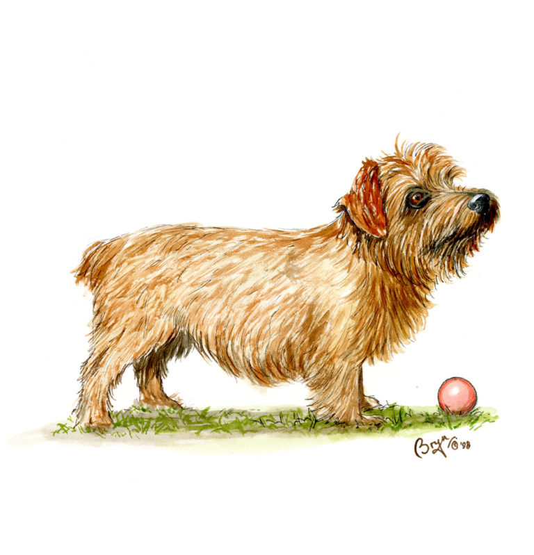 OA_Dogs-Norfolk-Terrier-study