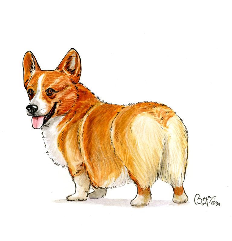 OA_Dogs_Corgi-Corgi-study-