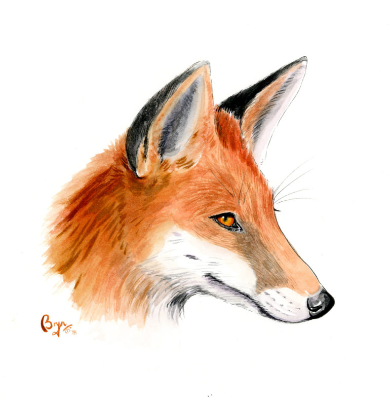 OA_Hunting_Fox-Foxes-head-study